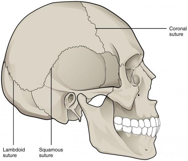 File 901 Skull Sutures Jpg