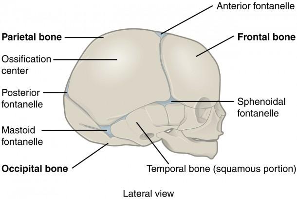 Cranial Sutures Diagram