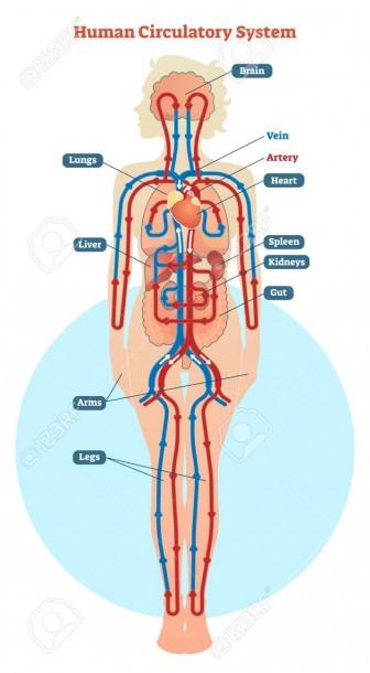 Human Circulatory System Vector Illustration Diagram, Blood