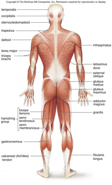 Superficial Muscles Posterior View