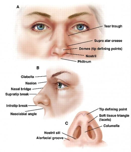 Anatomy Of Exterior Nose External Diagram Human Tweetboard – Plzrt Me