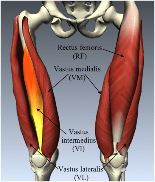 Anatomy Of Quadriceps Femoris Muscle Group, Which Includes Rectus