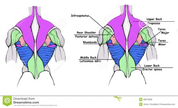 Back Muscles Stock Illustration  Illustration Of Diagram