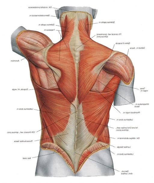 Human Back Muscles Diagram
