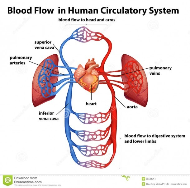 Blood Flow In Human Circulatory System Stock Vector