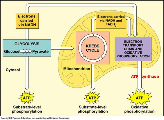 Simple Cellular Respiration Diagram