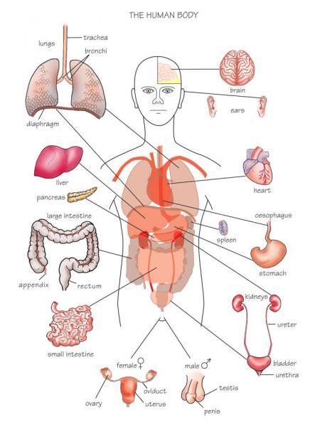 Body Organ Map