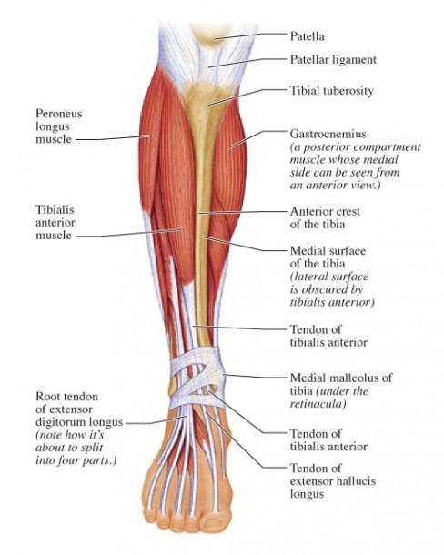 Posterior Calf Anatomy Muscles Of The Lower Leg Diagram Calf