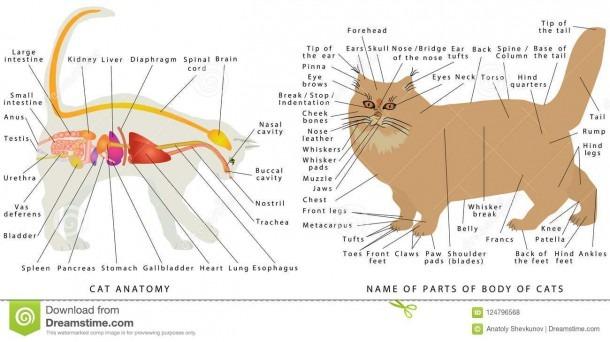 Cat Anatomy  Stock Vector  Illustration Of Disease, Heart