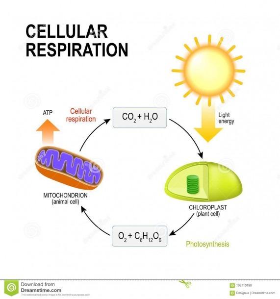 Cellular Respiration  Connecting Cellular Respiration And Photos