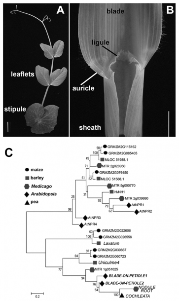 Comparison Of Eudicot Vs Monocot Leaves And Phylogenetic Analysis
