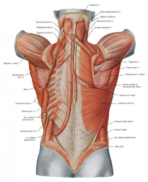 Diagram Back Muscles Human Muscle Diagram Labeled The Back Side