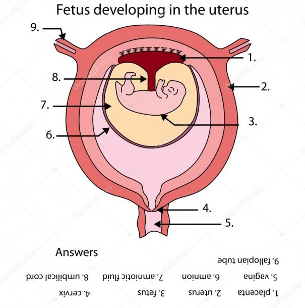 Fully Labeled Diagram Of Fetus Developing In The Uterus — Stock