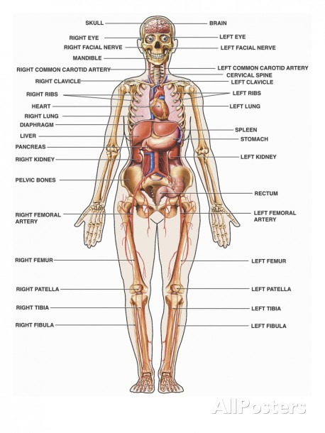 All The Organs Of The Body