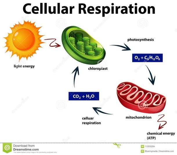 Diagram Showing Cellular Respiration Stock Vector