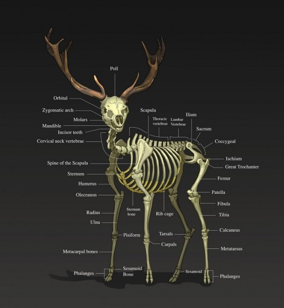 Diagram Vital Organs Human Body Unique Human And Deer Organ