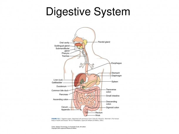 Pig Digestive System Labeled Diagram