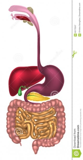 Digestive Tract Alimentary Canal Stock Vector