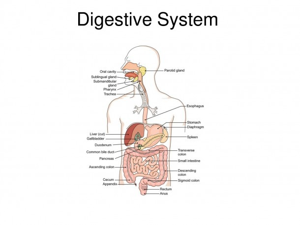 Digestive Tract Diagrams