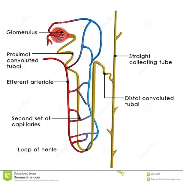 Excretory System Stock Illustration  Illustration Of Artery