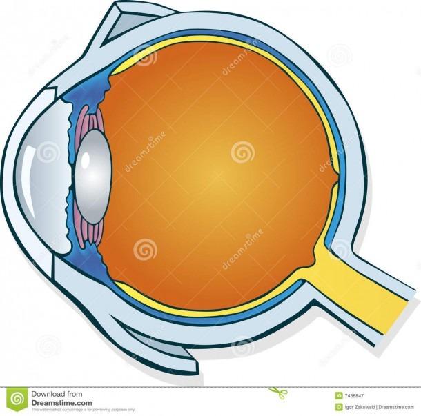 Eyeball Section Stock Vector  Illustration Of Drawing