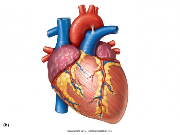 Unlabeled Heart Diagram Heart Diagram Clipart