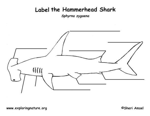 Hammerhead Shark Diagram – Dtlinehz