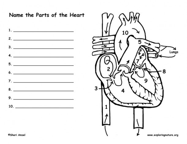 Blood Flow Throught The Heart Worksheet  The Heart Blood Flow
