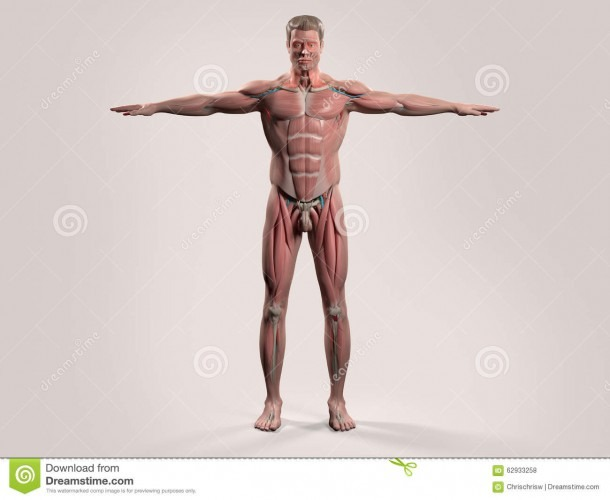 Human Anatomy With Front View Of Full Body Stock Photo