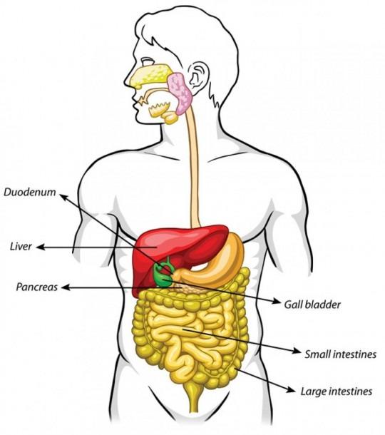 Human Body Diagram Gallbladder Unique Male Body Organs Location