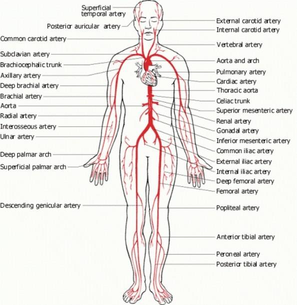 Human Body Diagram Veins Arteries Fresh Major Veins Diagram Full