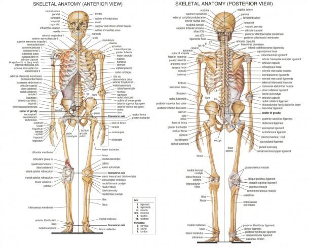 Human Bone Anatomy Diagram Human Bone Anatomy Introduction