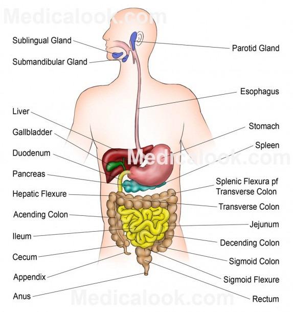 36 Clean Human Digestive System Diagram