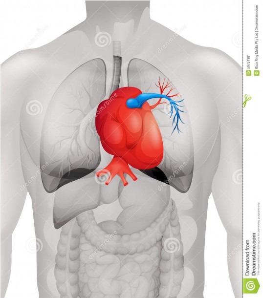 Human Heart Diagram In Detail Stock Vector