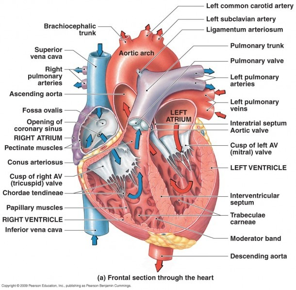 Human Heart Labeled With Arteries Reference Web Photo Gallery With
