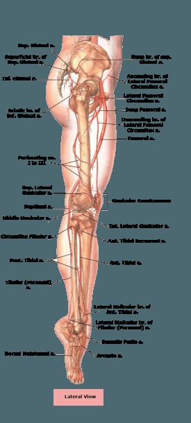Sciatic Nerve Anatomy Diagram Human Bones Of Lower Leg And