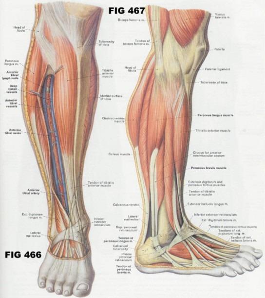 Lower Leg Anatomy Diagram
