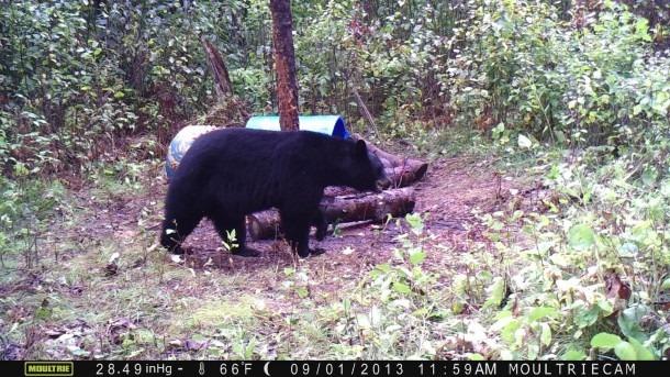 Black Bear Shot Placement Diagram