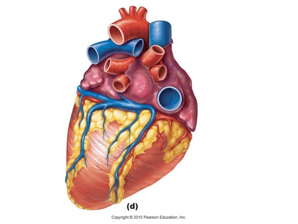 Human Heart Diagram Unlabeled Images Pictures