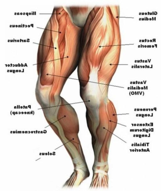 Human Leg Muscles