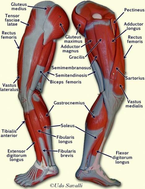 Muscle Chart Legs