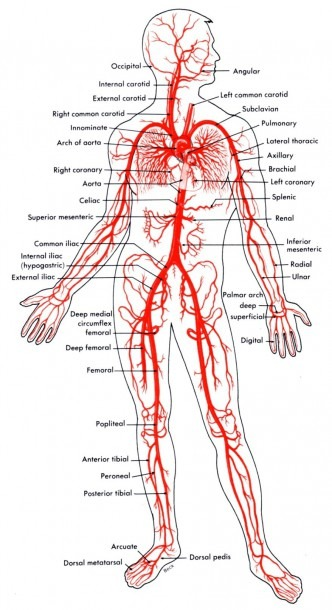 Leg Vein Diagram Awesome Veins The Body Diagram New Heart Veins