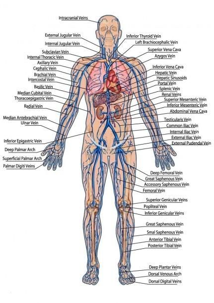 Leg Vein Diagram