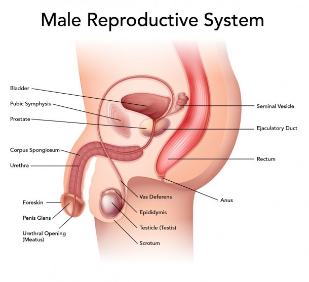 Male Reproductive Health  U2013 Best Diagram Collection