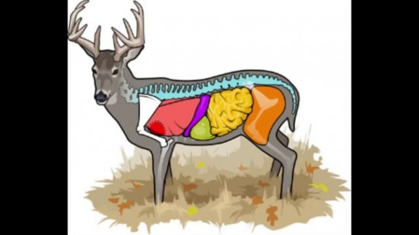 Deer Anatomy & Where To Aim On A Deer