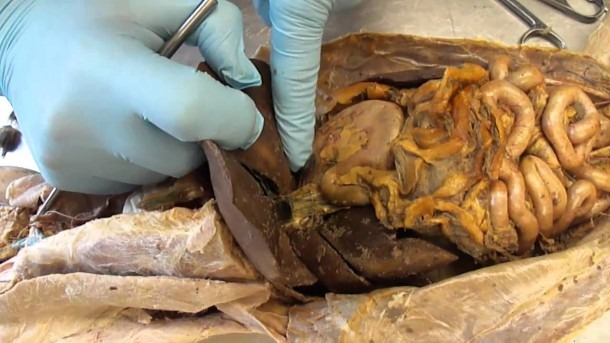 G S C  Cat Dissection Internal Organs, Digestive System, And