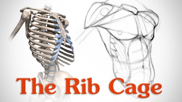Anatomy Of The Rib Cage