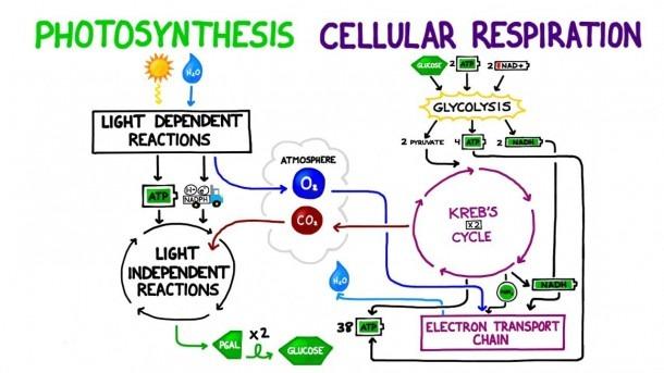 Photosynthesis Vs  Cellular Respiration Comparison