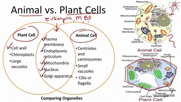 2 1 7 Animal Vs  Plant Cells