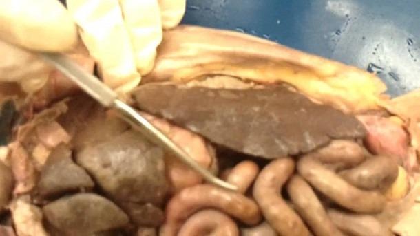Cat Dissection Internal Organs